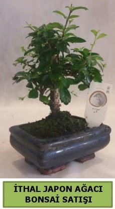 İthal japon ağacı bonsai bitkisi satışı  Çanakkale online çiçek gönderme sipariş
