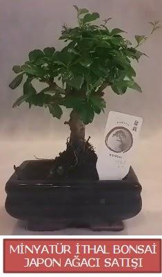 Küçük görsel bonsai japon ağacı bitkisi  Çanakkale cicekciler , cicek siparisi