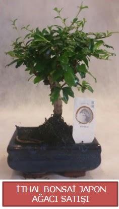 İthal küçük boy minyatür bonsai ağaç bitkisi  Çanakkale online çiçek gönderme sipariş