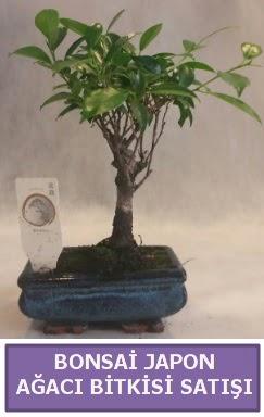 İthal Bonsai japon ağacı bitkisi satışı  Çanakkale internetten çiçek satışı