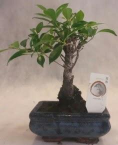 Bonsai ağacı japon ağaç bitkisi  Çanakkale internetten çiçek siparişi