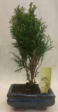 SINIRLI SAYIDA ÜRÜN Selvi Bonsai  Çanakkale internetten çiçek satışı