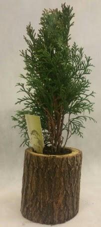 SINIRLI STOK Selvi Bonsai Doğal kütükte  Çanakkale internetten çiçek satışı