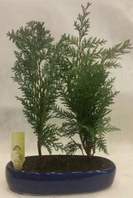 SINIRLI SAYIDA Selvi Ağacı bonsai ikili  Çanakkale online çiçek gönderme sipariş