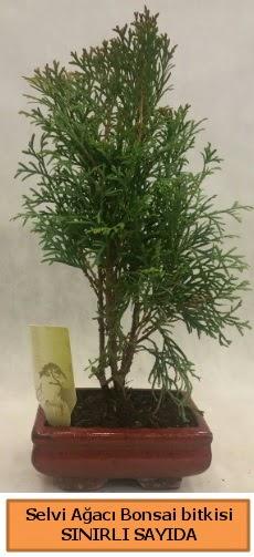 Selvi ağacı bonsai japon ağacı bitkisi  Çanakkale cicek , cicekci