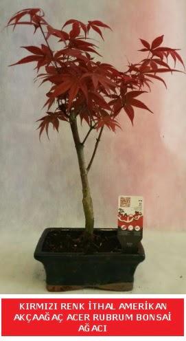İTHAL ACER RUBRUM BONSAİ AĞACI  Çanakkale çiçekçiler