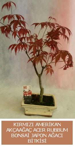 Amerikan akçaağaç Acer Rubrum bonsai  Çanakkale çiçek yolla , çiçek gönder , çiçekçi
