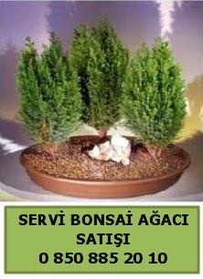 BONSAİ 3 LÜ SERVİ BONSAİ AĞACI  Çanakkale online çiçek gönderme sipariş