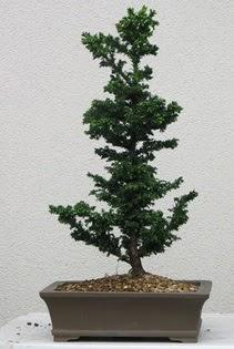 Çam ağacı bonsai bitkisi satışı  Çanakkale online çiçek gönderme sipariş