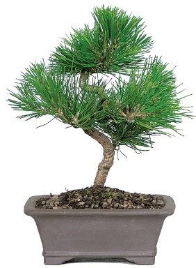 Çam ağacı bonsai japon ağacı bitkisi  Çanakkale çiçek siparişi vermek
