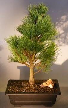Çam ağacı japon ağacı bitkisi bonsai  Çanakkale online çiçek gönderme sipariş