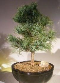 Çam ağacı bonsai bitkisi satışı  Çanakkale uluslararası çiçek gönderme