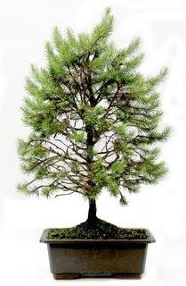 *** STOKTA YOK - Çam ağacı bonsai bitkisi satışı  Çanakkale online çiçekçi , çiçek siparişi