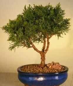 Servi çam bonsai japon ağacı bitkisi  Çanakkale internetten çiçek siparişi