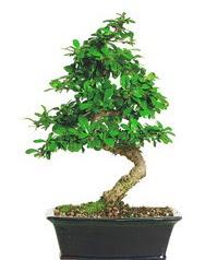 Bonsai bitkisi satışı  Çanakkale online çiçek gönderme sipariş