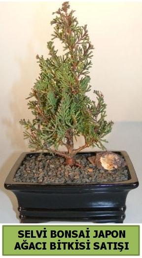 Selvi çam japon ağacı bitkisi bonsai  Çanakkale online çiçek gönderme sipariş