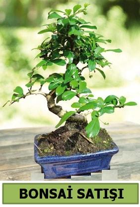 Çam bonsai japon ağacı satışı  Çanakkale cicek , cicekci