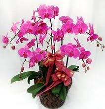 Sepet içerisinde 5 dallı lila orkide  Çanakkale uluslararası çiçek gönderme
