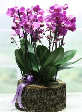 Kütük içerisinde 6 dallı mor orkide  Çanakkale uluslararası çiçek gönderme