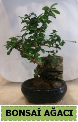 Bonsai ağacı japon ağacı satışı  Çanakkale 14 şubat sevgililer günü çiçek