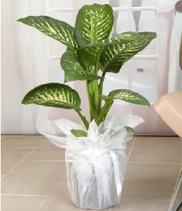 Tropik saksı çiçeği bitkisi  Çanakkale cicek , cicekci