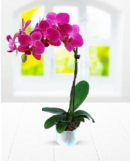 Tek dallı mor orkide  Çanakkale cicek , cicekci