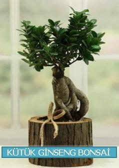 Kütük ağaç içerisinde ginseng bonsai  Çanakkale çiçekçiler