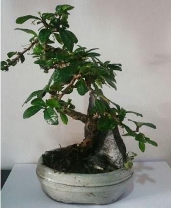 S şeklinde ithal bonsai ağacı  Çanakkale internetten çiçek siparişi