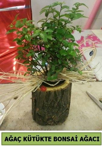 Doğal ağaç kütük içerisinde bonsai ağacı  Çanakkale çiçekçiler