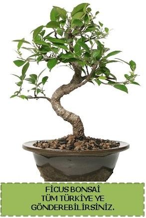 Ficus bonsai  Çanakkale çiçekçiler