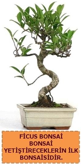 Ficus bonsai 15 ile 25 cm arasındadır  Çanakkale internetten çiçek siparişi