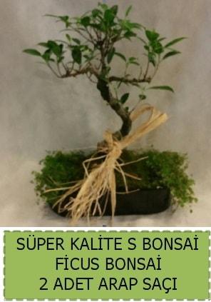Ficus S Bonsai ve arap saçı  Çanakkale online çiçek gönderme sipariş