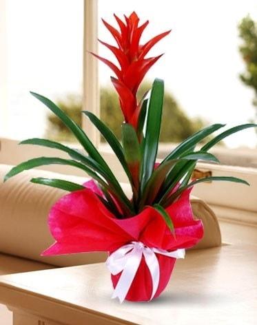 Guzmanya Saksı Çiçeği  Çanakkale internetten çiçek siparişi
