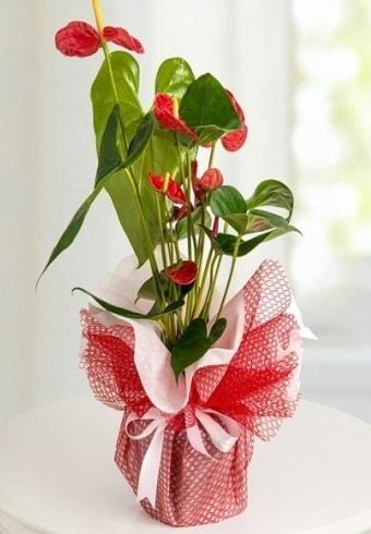 Anthurium Saksı Çiçeği  Çanakkale 14 şubat sevgililer günü çiçek