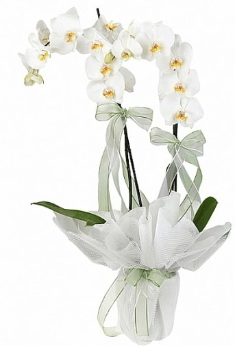 Çift Dallı Beyaz Orkide  Çanakkale çiçek gönderme sitemiz güvenlidir