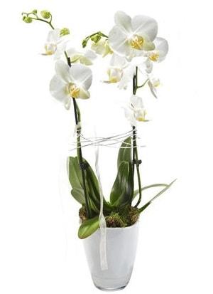 2 dallı beyaz seramik beyaz orkide saksısı  Çanakkale çiçekçiler