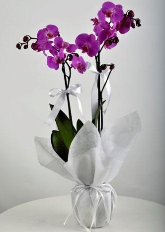 Çift dallı saksıda mor orkide çiçeği  Çanakkale kaliteli taze ve ucuz çiçekler