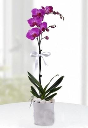 Tek dallı saksıda mor orkide çiçeği  Çanakkale çiçek servisi , çiçekçi adresleri