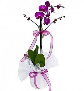 Tek dallı saksıda ithal mor orkide çiçeği  Çanakkale çiçek servisi , çiçekçi adresleri
