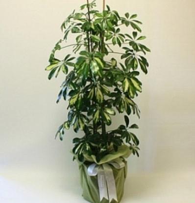 Şeflera salon bitkisi  Çanakkale çiçek siparişi vermek