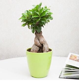 Ficus Ginseng Bonsai  Çanakkale İnternetten çiçek siparişi
