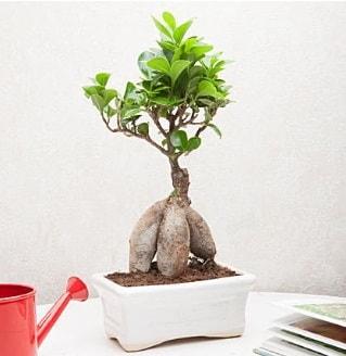 Exotic Ficus Bonsai ginseng  Çanakkale çiçekçi telefonları