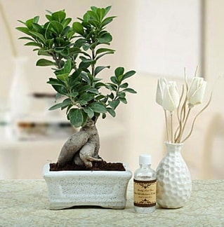 Ginseng ficus bonsai  Çanakkale çiçek servisi , çiçekçi adresleri