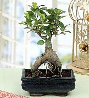 Appealing Ficus Ginseng Bonsai  Çanakkale çiçek gönderme sitemiz güvenlidir