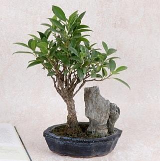 Japon ağacı Evergreen Ficus Bonsai  Çanakkale çiçekçiler