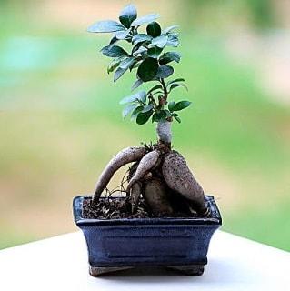 Marvellous Ficus Microcarpa ginseng bonsai  Çanakkale kaliteli taze ve ucuz çiçekler