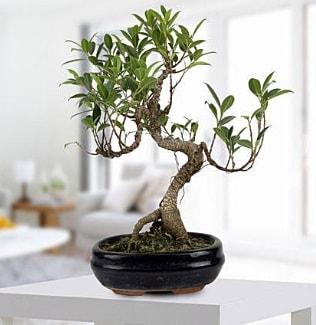 Gorgeous Ficus S shaped japon bonsai  Çanakkale hediye çiçek yolla