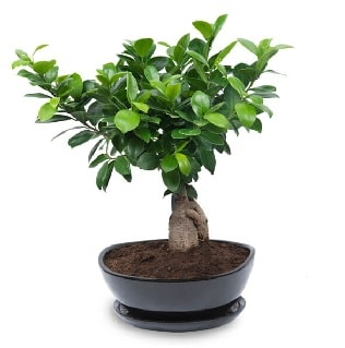 Ginseng bonsai ağacı özel ithal ürün  Çanakkale çiçek online çiçek siparişi
