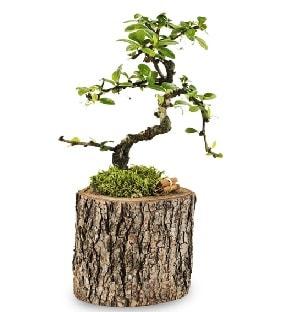 Doğal kütükte S bonsai ağacı  Çanakkale cicek , cicekci