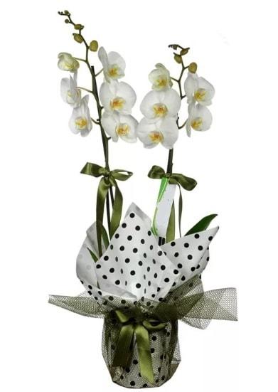Çift Dallı Beyaz Orkide  Çanakkale İnternetten çiçek siparişi